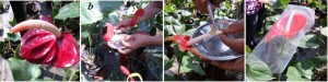 Anthurium plant pollination