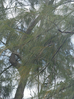 Filao à feuilles de prêle - Filao bord de mer - Casuarina equisetifolia