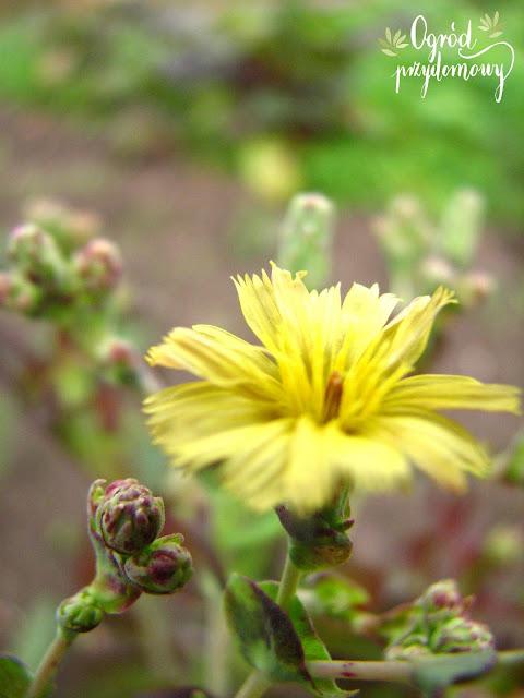 ogród przydomowy, pozyskiwanie nasion, zbiór nasion, zbieranie nasion