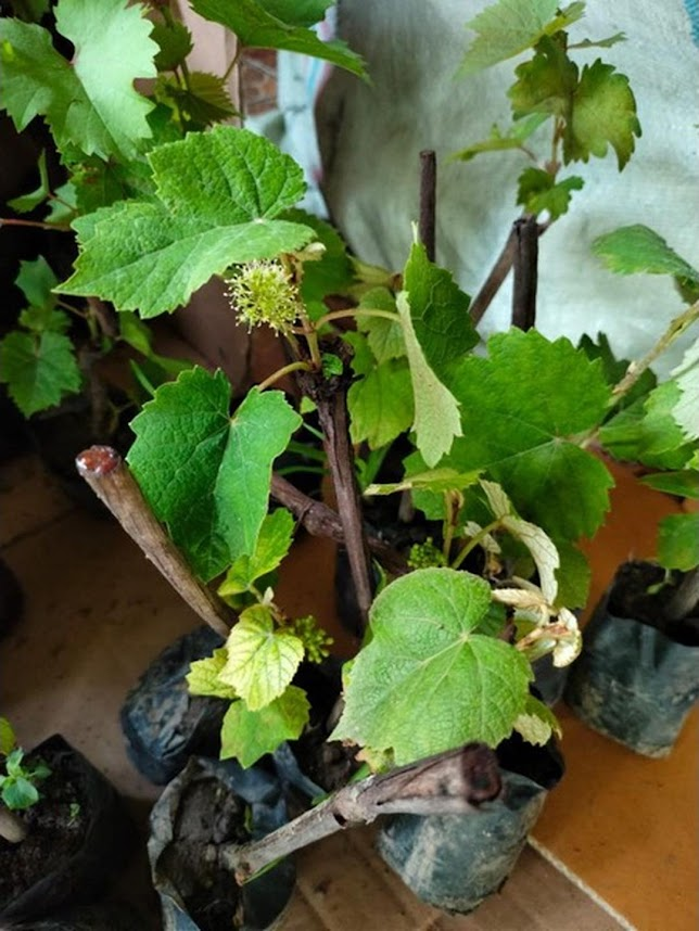 2 bibit anggur berbunga Jawa Tengah