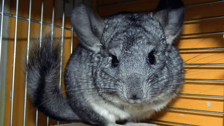 chinchilla as a pet pros and cons