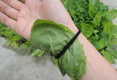 Les feuilles de plantain majeur pour traiter les brûlures