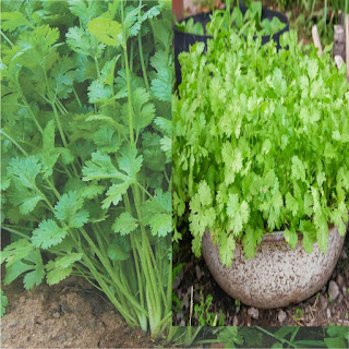 Here's what you need to know about growing a tall coriander plant