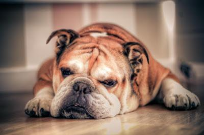Bulldog Inglés problemas articulares