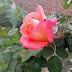 कब और कैसे करें गुलाब की Pruning