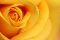 Close-up of a beautiful yellow rose