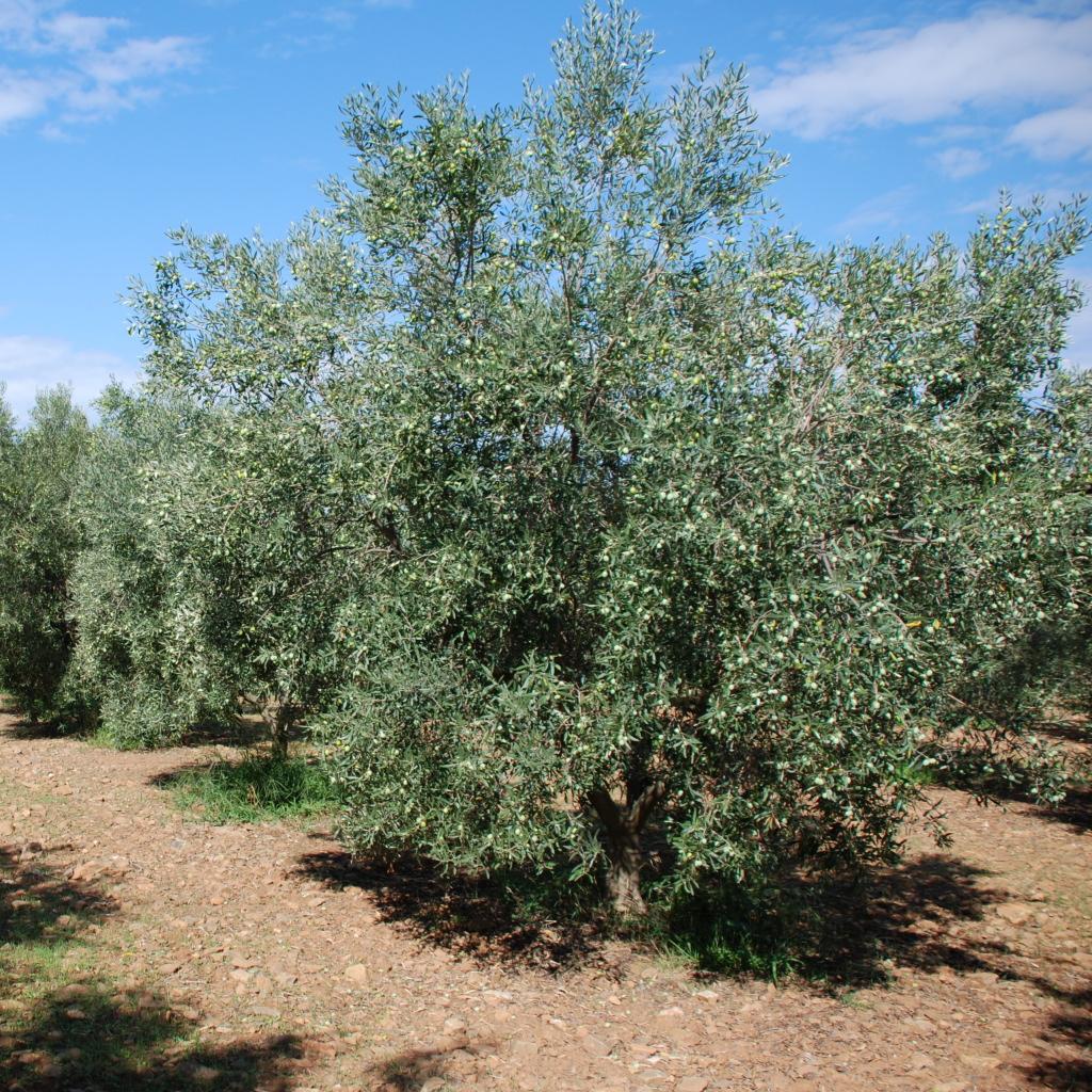 La cucina piccolina extravergine sardo e una delizia for Acquisto piante olivo