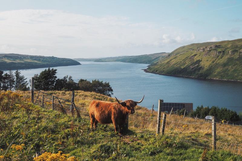 Vache des Highlands croisée sur l'île de Skye en Ecosse