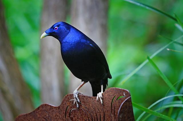 satin-bowerbird.jpg