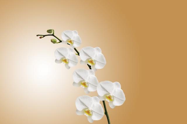 Umumnya bunga ini tumbuh menempel pada batang tanaman lain yang lebih besar atau disebut  30+ Gambar Bunga Anggrek Cantik
