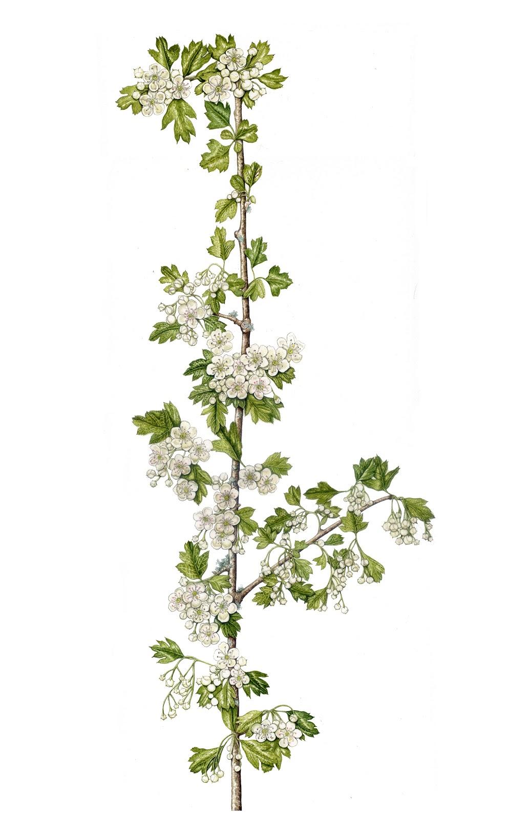 dessins botaniques l 39 aub pine est en fleurs. Black Bedroom Furniture Sets. Home Design Ideas