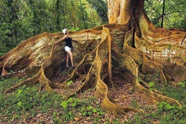 #3. A tree with insane roots in Costa Rica. - 19 Secret Travel Destinations You Never Knew Existed… Almost Nobody Knows About #17.