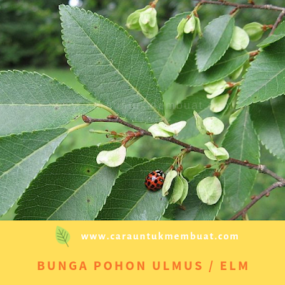 Bunga Pohon Ulmus