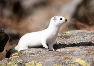 Ermine - Animals That Start With E