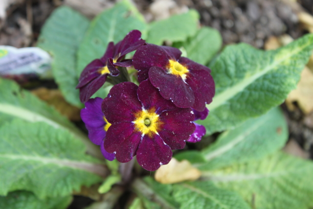 Primula 'Supernova Purple'