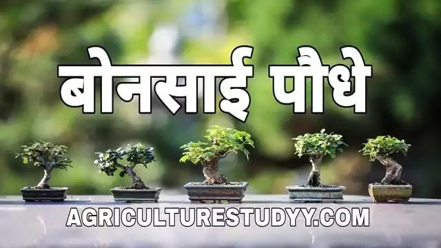 बोनसाई (bonsai in hindi) क्या है इसका अर्थ एवं बोनसाई ट्री बनाने की विधि, bonsai tree meaning in hindi, bonsai tree in hindi, मैम बोनसाई, बोनसाई पौधे,