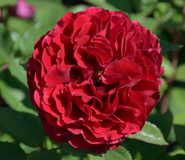 Nadia Renaissance сорт розы фото