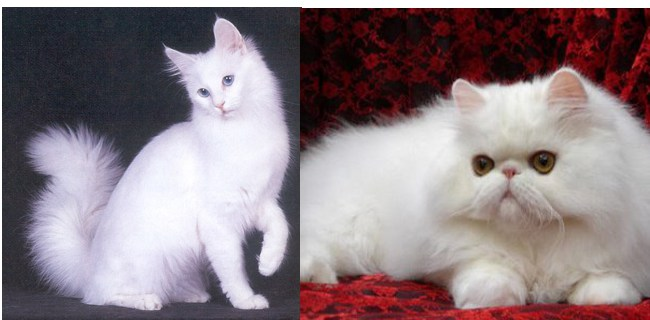 Gambar Perbedaan Bulu Kucing Anggora Dan Persia