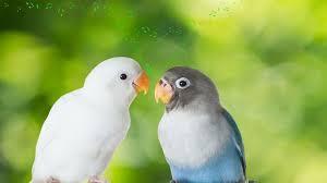Harga Lovebird Murah Terbaru 2020 Yang Bisa Anda Pilih