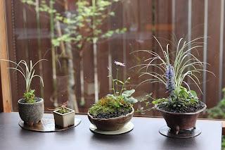 お手入れ後の三つの山野草盆栽と新しい小さな鉢盆栽