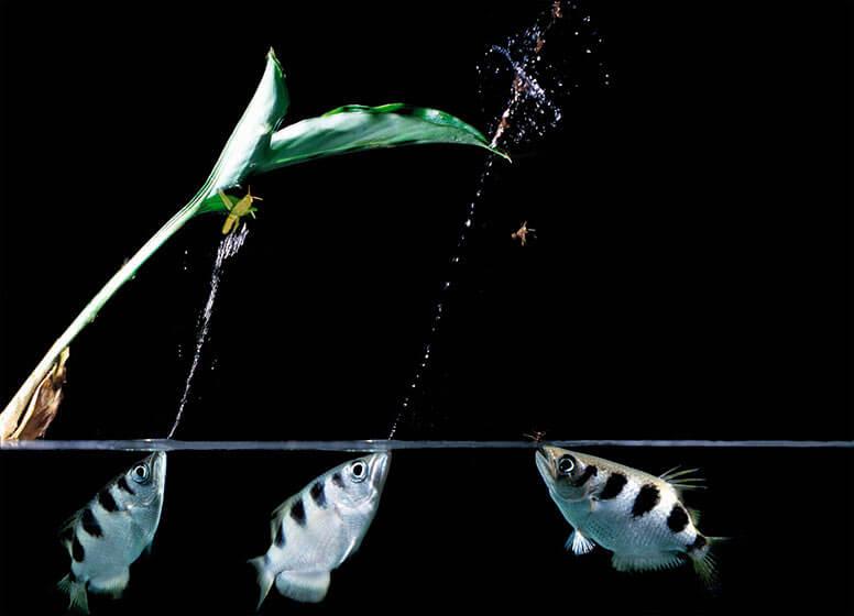 Ikan Sumpit atau Archerfish