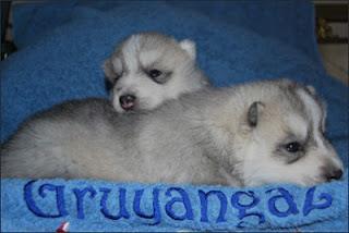 Cachorros Siberian Husky Gruyangaz Siberians