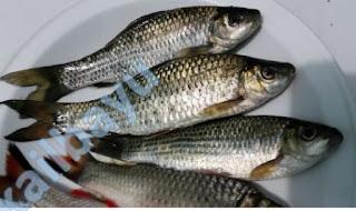 cara mancing ikan nilem