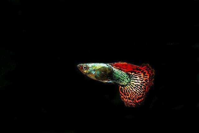 Cara Budidaya Ikan Guppy Di Aquarium Bagi Pemula