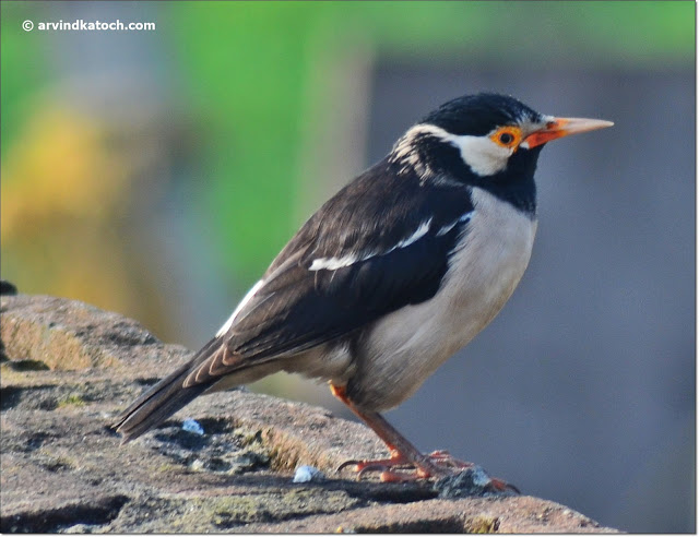 Pied Myna,Asian Pied Starling, sideview