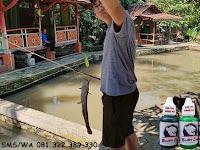 Essen Ikan Lele Khusus Di Empang