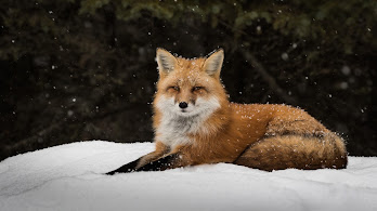 Red Fox, Snow, 8K, 7680x4320, #48