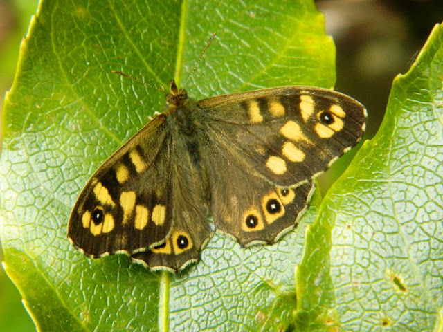 Speckled Wood Butterfly, Butterfly photography,