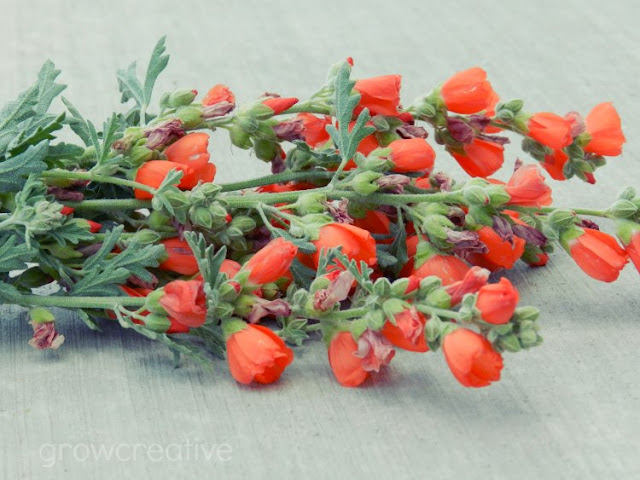 Orange GlobeMallow Flowers
