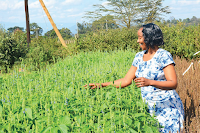 Chia seeds farming in Nyeri