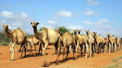 camel,kenya,africa