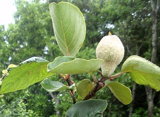 Fruto del membrillero aún verde