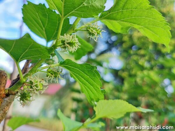 putik buah mulberry