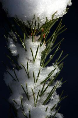 luminen männynlatvus