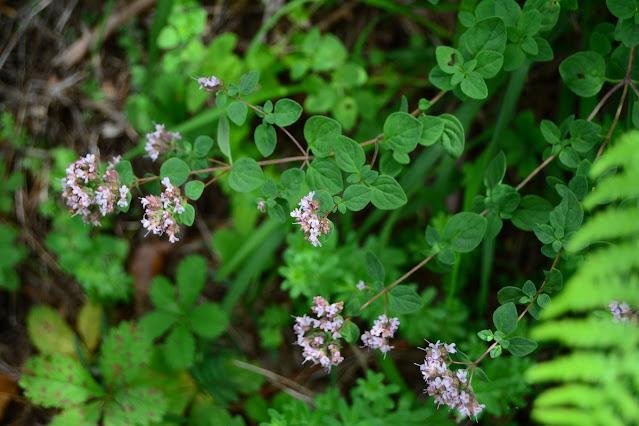 Eupatorium cannabinum corsicum