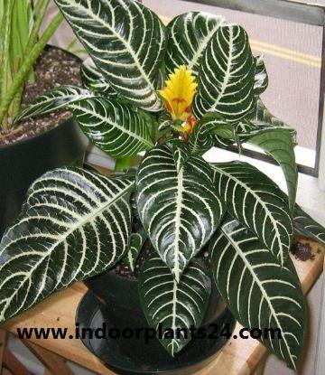 Aphelandra squarrosa Dania plant image
