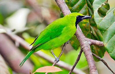 cara merawat burung, cepat bunyi, cucak ijo mabung, lomba,