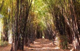 Tourist attractions in the bamboo forest in Indonesia