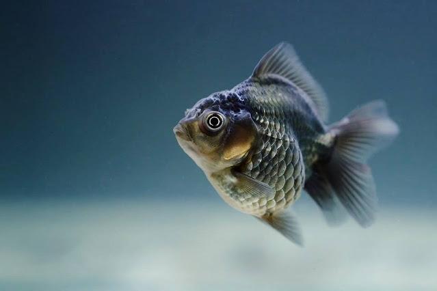 Jenis Ikan Hias Air Tawar Yang Banyak Diminati