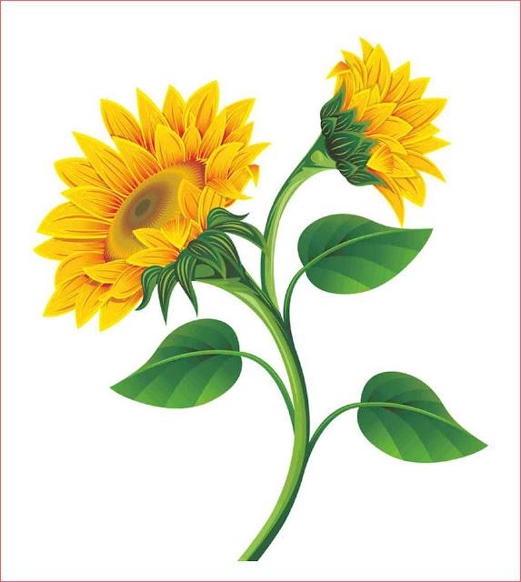 gambar-bunga-matahari