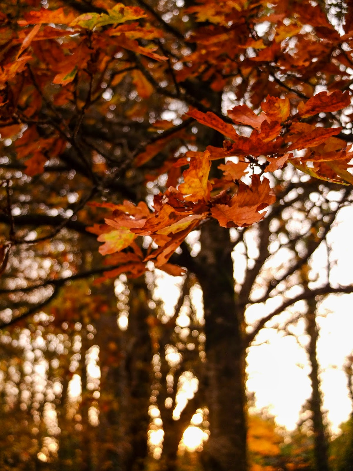 Brown and yellow tones of Oak leaves on branches outside Kanturk Castle in County Cork.