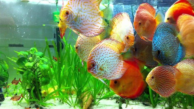 Jenis Ikan Hias dan Harganya - Ikan Discus