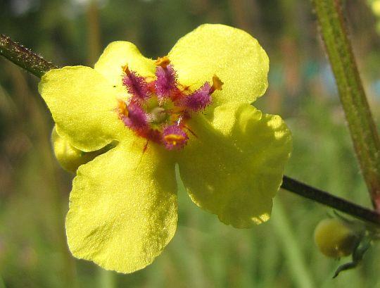 Dziewanna pospolita (Verbascum nigrum L.).