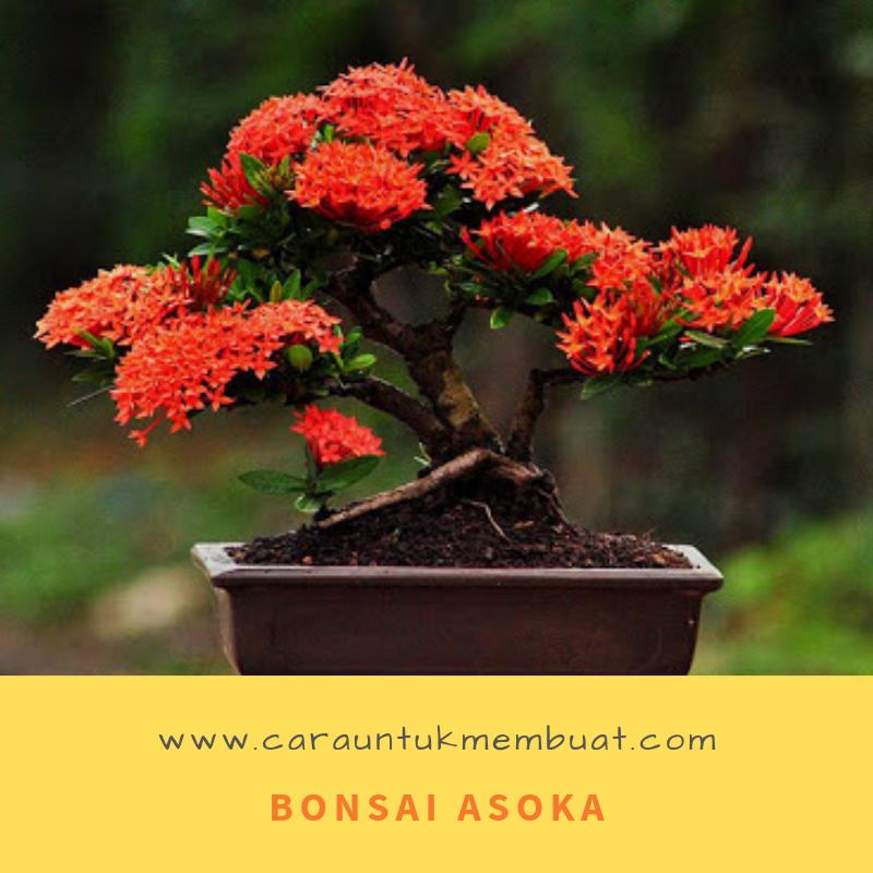 Bonsai Asoka Cerita Sedih