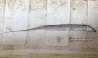Savalani Hairtail