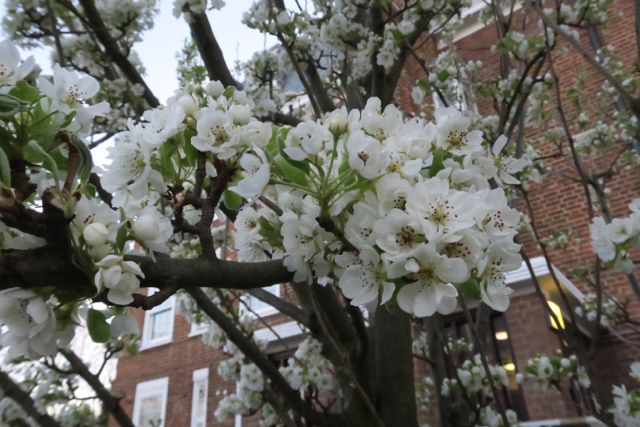 Pear tree covered in white spring blossom